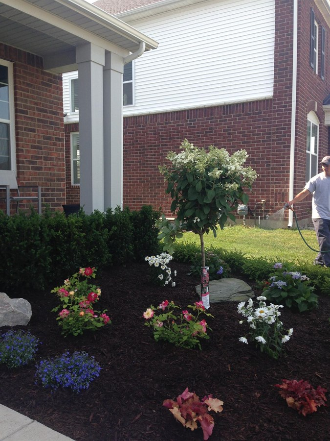 Landscape installation with a beautiful hydrangea tree, rose bushes, and perinneals.