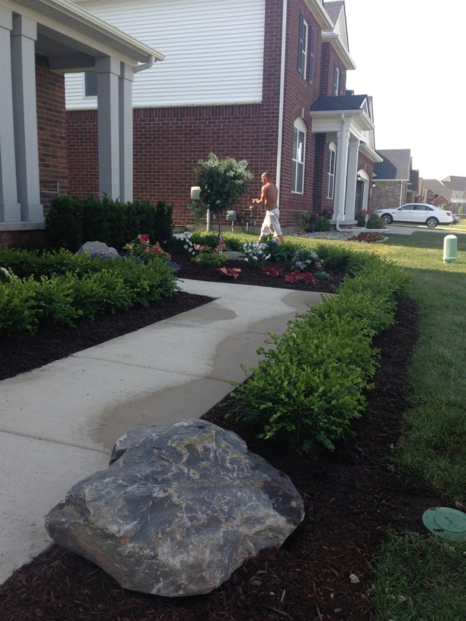 Green velvet boxwood hedge installation with black mulch for ground coverage and a Michigan fieldstone boulder.