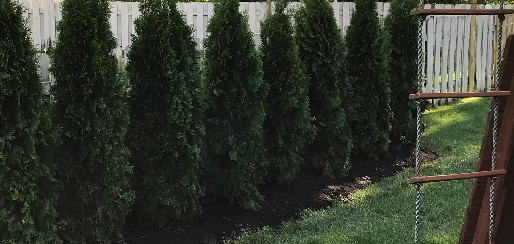 Green pine trees installation with mulch